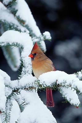 Northern Cardinal (cardinalis Cardinalis Print by Richard and Susan Day