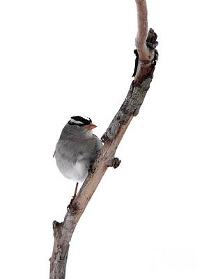 White-throated Sparrow Print by Jack R Brock