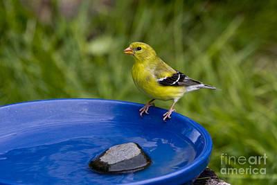 American Goldfinch Print by Linda Freshwaters Arndt
