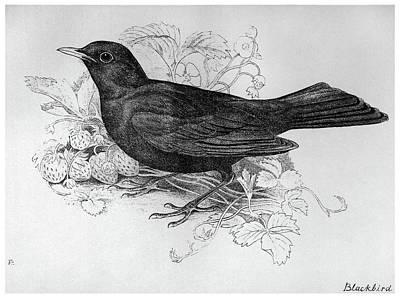 Blackbird Drawing - Blackburn Birds, 1895 by Granger