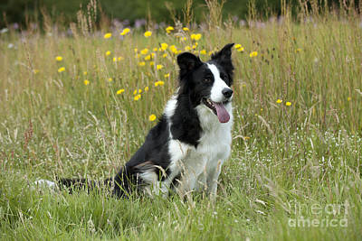 Panting Dog Photograph - Border Collie by John Daniels