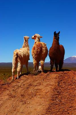 Llama Photograph - 3 Amigos by FireFlux Studios