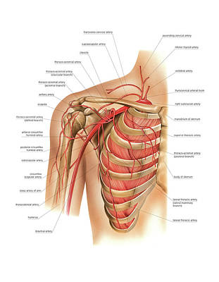 Arteries Photograph - Arterial System Of The Shoulder by Asklepios Medical Atlas