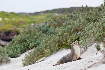 Australian Sea Lion (neophoca Cinerea Print by Martin Zwick