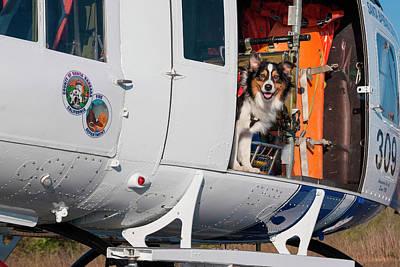 Australian Shepherd Search And Rescue Print by Zandria Muench Beraldo