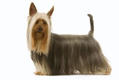 Silky Terrier Photograph - Australian Silky Terrier by Jean-Michel Labat