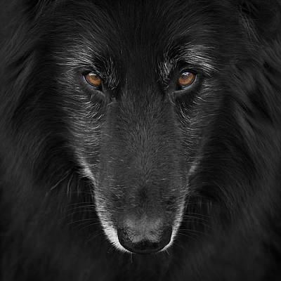 Belgian Sheepdog Photograph - Belgian Shepherd Groenendael 4 by Wolf Shadow  Photography