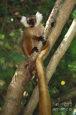 Lemur Tail Photograph - Black Lemur by Art Wolfe