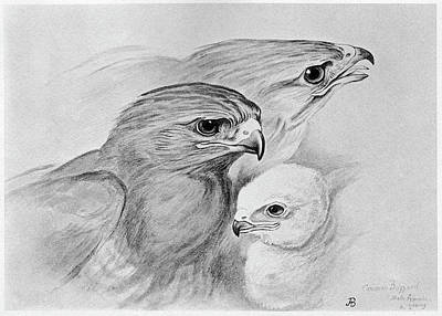Buzzard Drawing - Blackburn Birds, 1895 by Granger