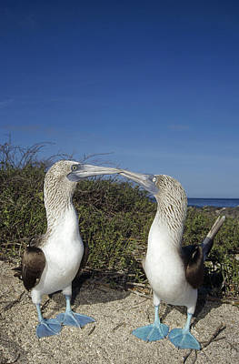 Wildlife Celebration Photograph - Blue-footed Boobies Courting Galapagos by Tui De Roy