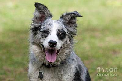 Panting Dog Photograph - Border Collie by William H. Mullins