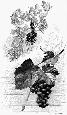 Grape Vines Drawing - Botany Grapes by Granger