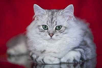 Green Eyes Photograph - British Longhair Kitten by Melanie Viola
