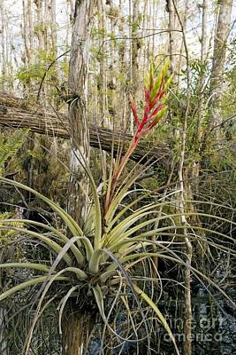 Epiphyte Photograph - Bromeliad Tillandsia Fasciculata by Bob Gibbons
