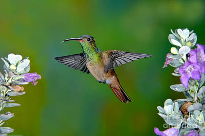 Buff-bellied Hummingbird Print by Anthony Mercieca