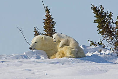 Playing Photograph - Canada, Manitoba, Wapusk National Park by Jaynes Gallery
