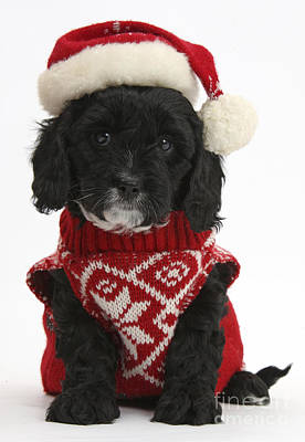 Cavapoo Puppy In Christmas Hat Print by Mark Taylor
