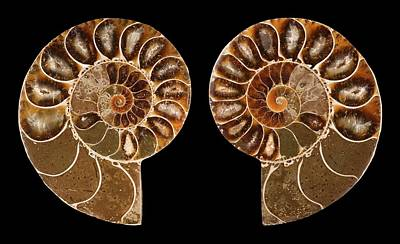 Spiral Photograph - Ceratites Ammonite Fossil by Lawrence Lawry