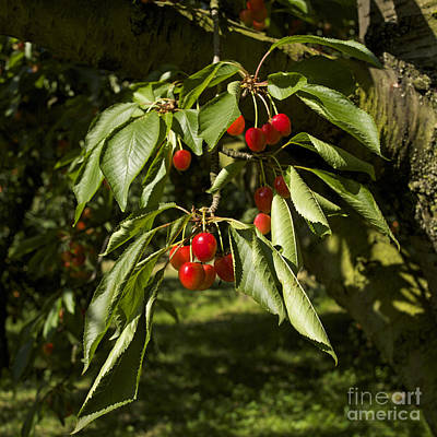 Green Color Photograph - Cherry Tree by Bernard Jaubert