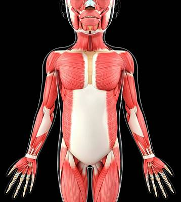 Oblique Photograph - Child's Muscular System by Pixologicstudio