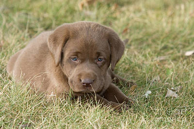 Chocolate Labrador Puppy Print by Linda Freshwaters Arndt