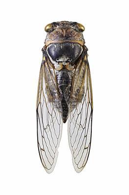 Cicada Photograph - Cicada by Science Photo Library