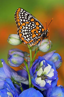 Checkerspot Photograph - Colorful Baltimore Checkered Spot by Darrell Gulin