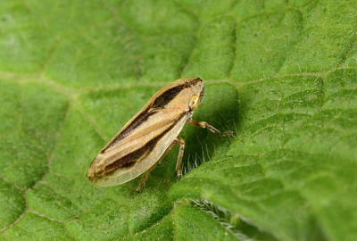Common Froghopper Print by Nigel Downer