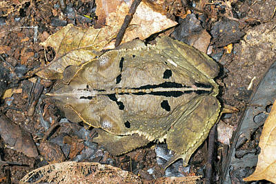 Crested Forest Toad Print by Dr Morley Read