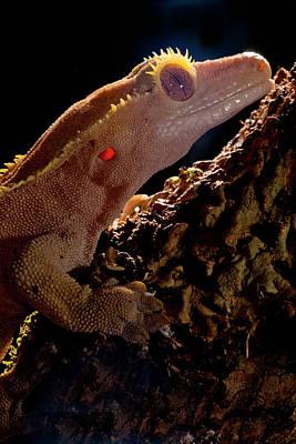 Crested Gecko, Rhacodactylus Ciliatus Print by David Northcott