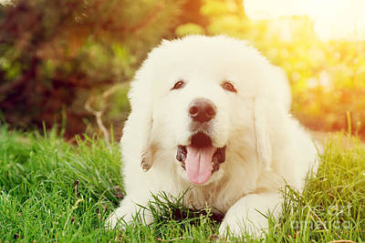 Friend Photograph - Cute White Puppy Dog Lying On Grass by Michal Bednarek