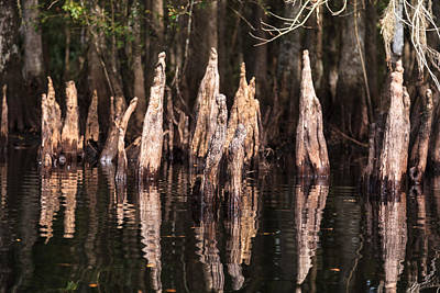 Fisheating Creek Photograph - Cypress Knees by Jonathan Gewirtz