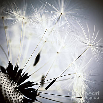 Fuzzy Photograph - Dandelion by Elena Elisseeva