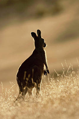 Hop Photograph - Eastern Grey Kangaroo Or Forester by Martin Zwick