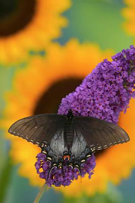 Eastern Tiger Swallowtail, Black Form Print by Darrell Gulin