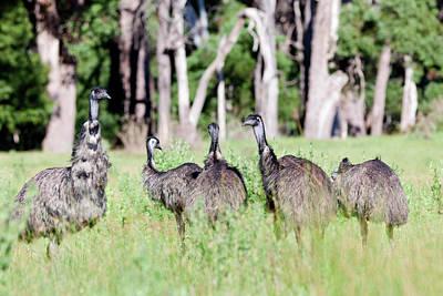 Emu Photograph - Emu (dromaius Novaehollandiae by Martin Zwick