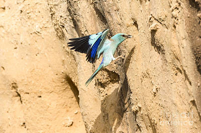 Blueish Photograph - European Roller Coracias Garrulus by Eyal Bartov