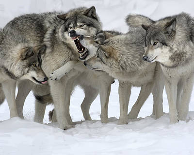 Wolf Photograph - Family Discussion by Rudy Pohl