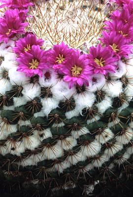 Sonora Photograph - Flowering Pincushion Cactus by Thomas Wiewandt