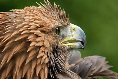 Golden Eagle Photograph - Golden Eagle by Linda Wright