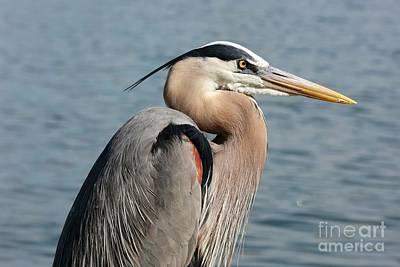 Great Blue Heron Profile Print by Carol Groenen