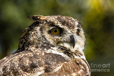 Owl Photograph - Great Horned Owl by Les Palenik