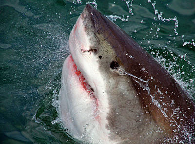 Cage Photograph - Great White Shark (carcharodon by Miva Stock