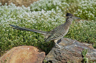 Roadrunner Photograph - Greater Roadrunner by Anthony Mercieca