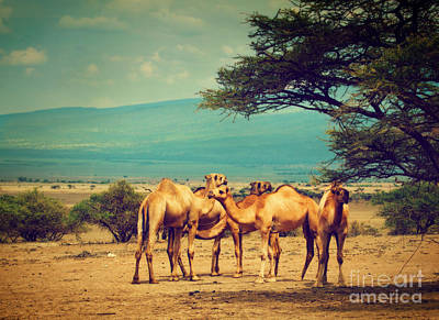 Africa Photograph - Group Of Camels In Africa by Michal Bednarek
