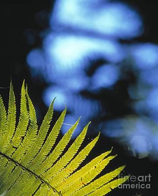 Cibotium Splendens Photograph - Hapuu Fern by G. Brad Lewis