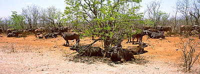 Bare Trees Photograph - Herd Of Cape Buffaloes Syncerus Caffer by Panoramic Images