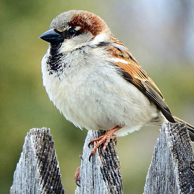 Sparrow Digital Art - House Sparrow by David G Paul