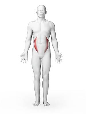 Oblique Photograph - Human Abdominal Muscles by Sebastian Kaulitzki