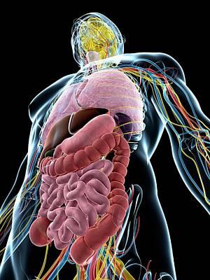 Human Internal Organ Photograph - Human Anatomy by Sebastian Kaulitzki
